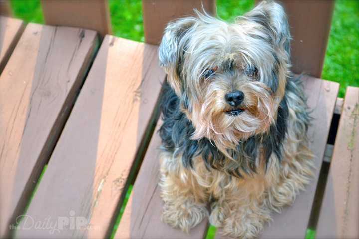 Pip, the rescued Yorkie, the legend and found of The Daily Pip