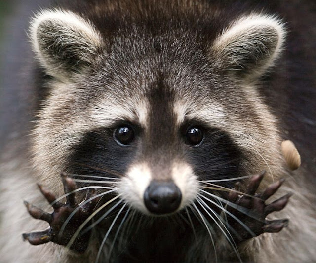 Raccoons solve an ancient puzzle, but do they really understand it?