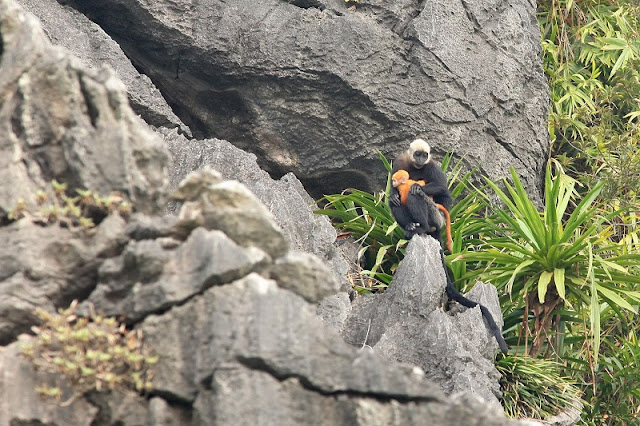 The Cat Ba Langurs in Cat Ba Island 1