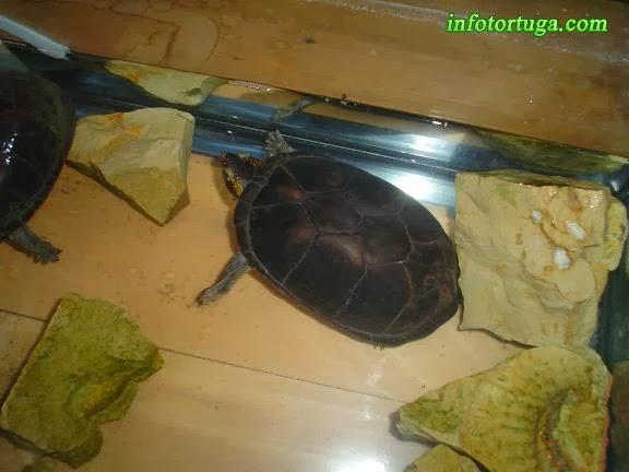 Tortuga en un acuario