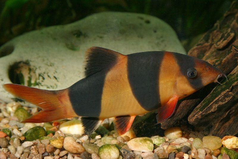 ikan botia kalimantan