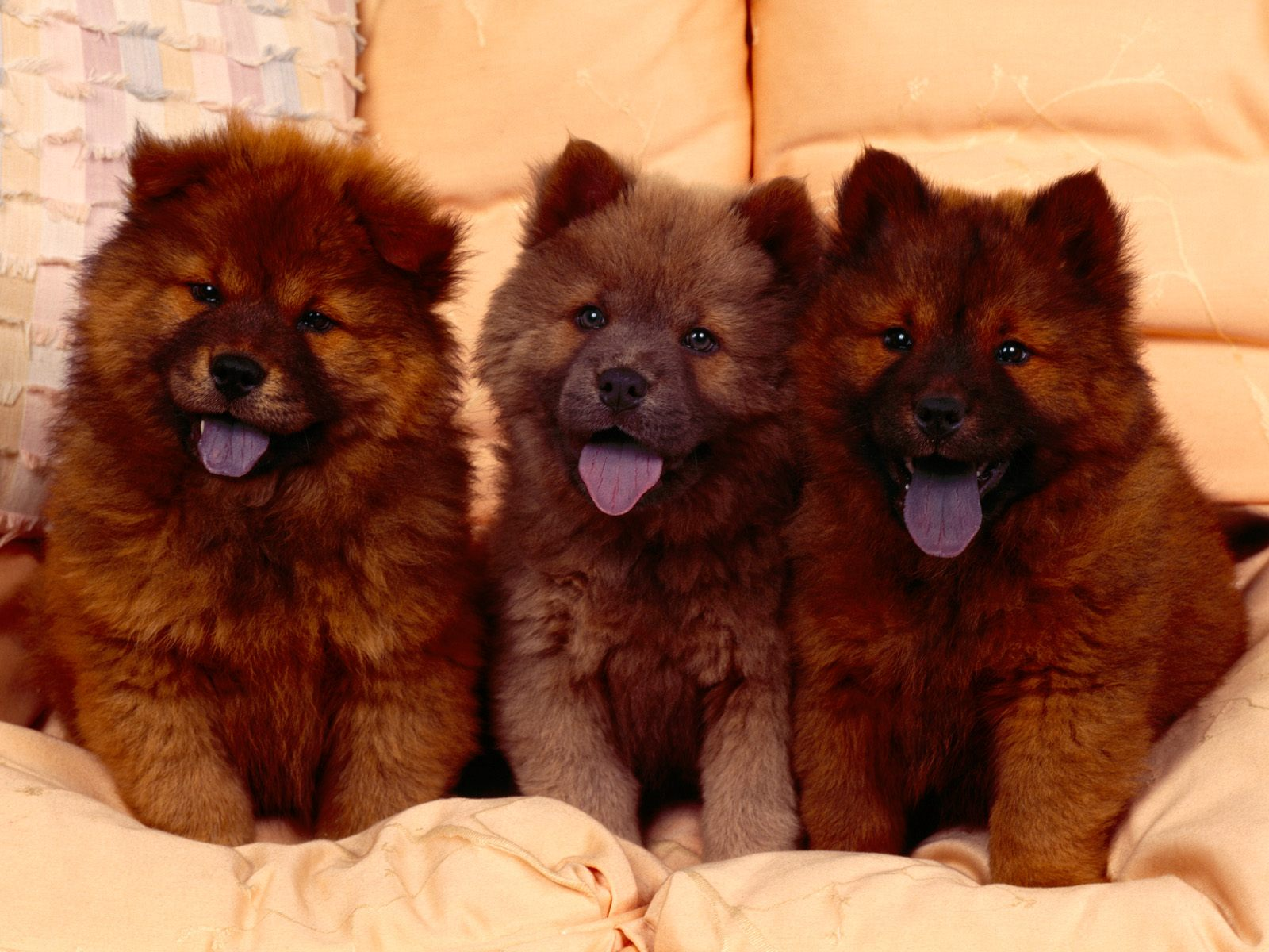 Chow Chow Puppies Wallpapers
