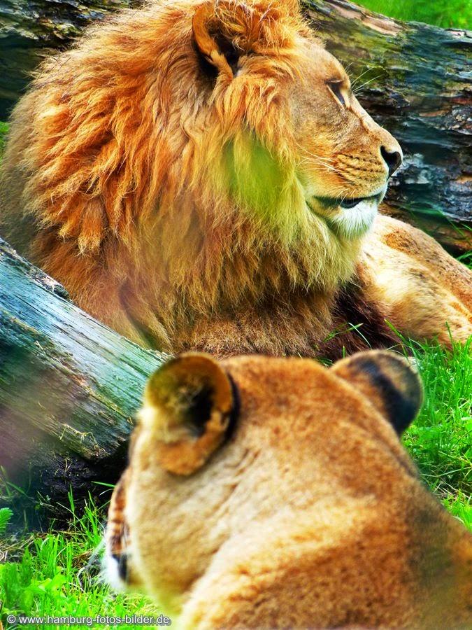 Serengeti Park Tiere, Löwen