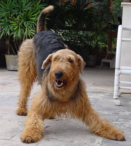 Breeds Dog: Breeds Airedale Dog