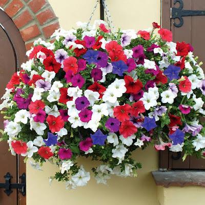 พิทูเนีย ไม้ดอกสวย ปลูกเป็นไม้กระถางแขวน การปลูกและดูแลพิทูเนียให้ออกดอก