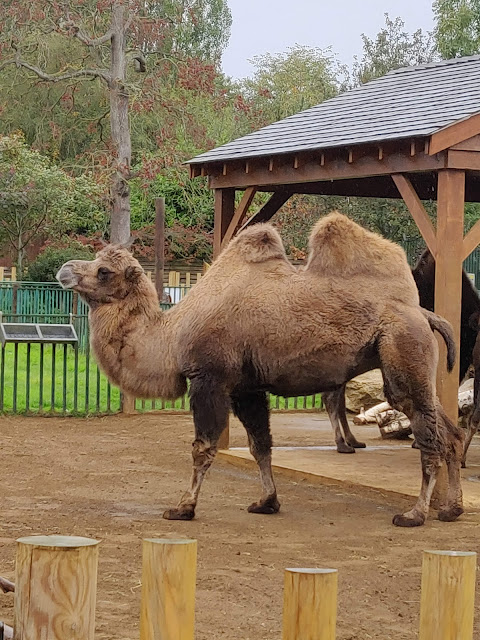 camel at Paradise Wildlife Park, Broxbourne, herts, UK