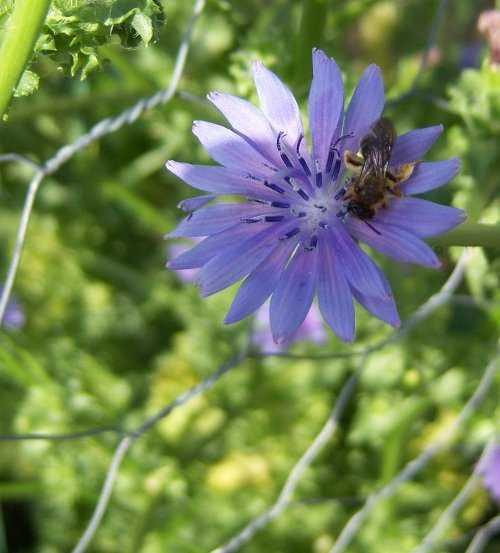 Insecto polinizando una flor de escarola...¿Abeja o sírfido?