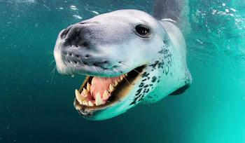 Paul Nicklen'ın Fotoğraflarına Yansıyan Leopar Fokları Fotoğrafları