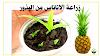 زراعة الاناناس بالبذور