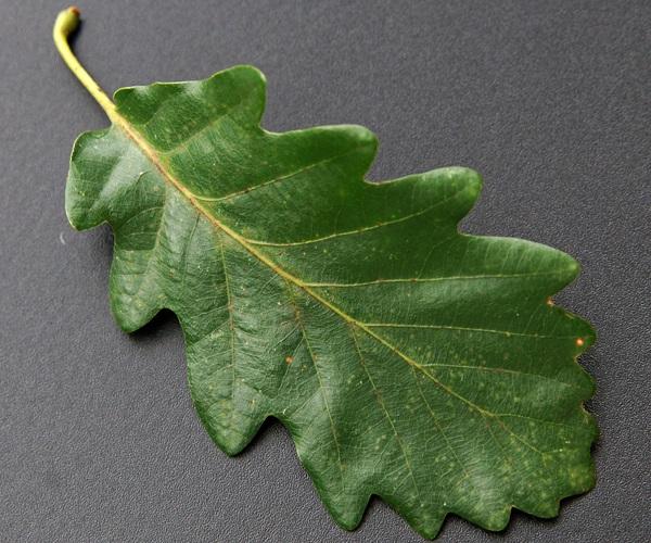 ROBLE ALBAR Quercus petraea