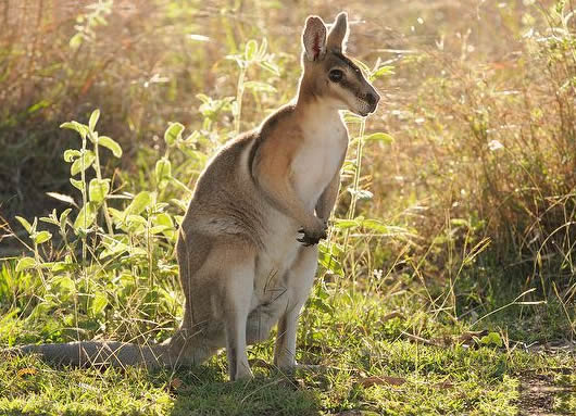 Brindled Nail-tailed Wallaby