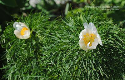 "Paeonia tenuifolia ""alba"""