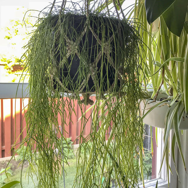 rhipsalis, hängväxt