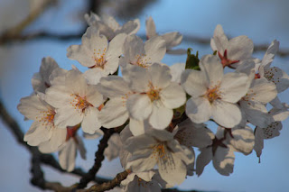 Close-up of the Blossoms.
