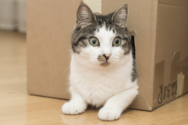 A cat hides in a cardboard box - important enrichment for cats because they like places to hide