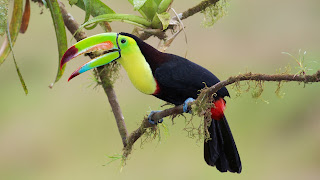 Keel-billed Toucan 10