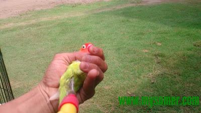 titik kelemahan burung lovebird