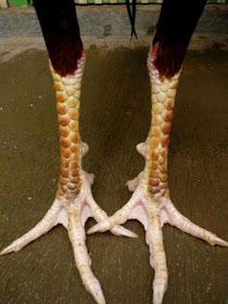 Sisik kaki ayam bangkok ciri khas gambir