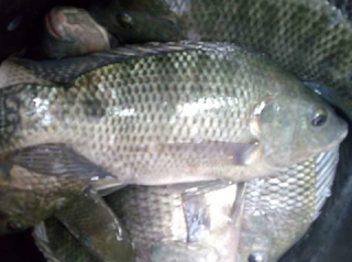 ikan nila GIFT
