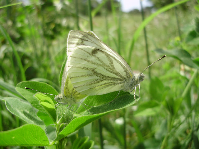 Pareja de mariposas Pieris napien copula
