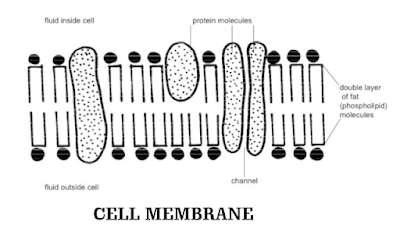 Class 9 - Biology - Cell: Fundamental Unit Of Life - Cell Membrane - Structure and Functions (#cbsenotes)(#eduvictors)