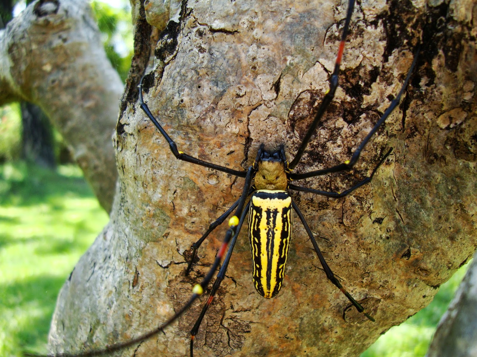 the golden orb spider Researchers have discovered a new, giant nephila species (golden orb weaver spider) from africa and madagascar they also reconstructed size evolution in the family nephilidae to show that this .