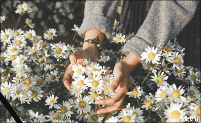 ảnh cô gái và hoa cúc họa mi