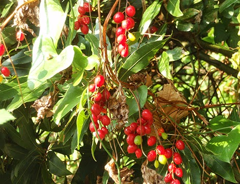 Nueza negra (Tamus communis)