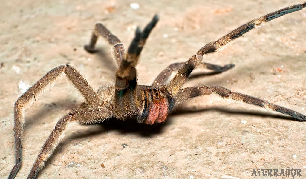 As 11 aranhas mais venenosas e perigosas do mundo