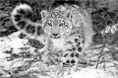 Leopard Salju Panthera uncia - berbagaireviews.com