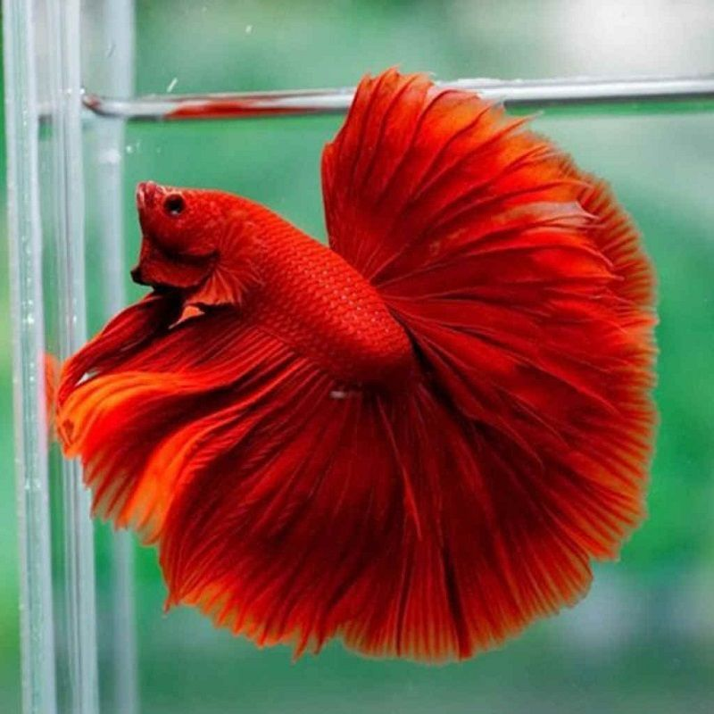 Image The Little-Known Secrets to Betta Fish Care Water Change
