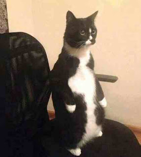 Cat stands upright