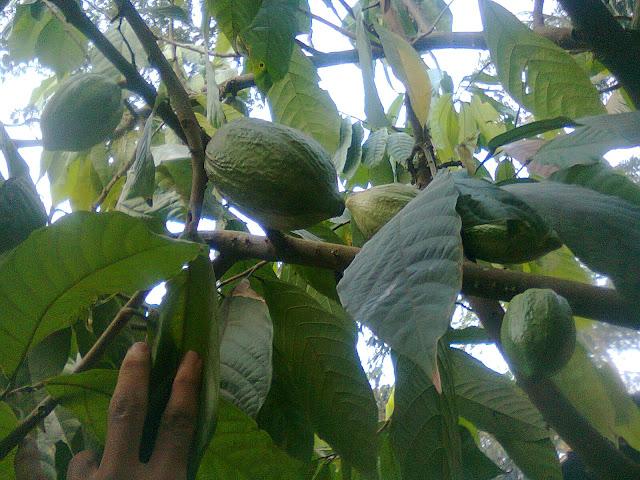 Pohon Kakao Berbuah Lebat Siap Panen