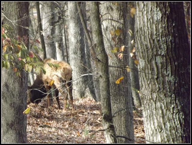 Elk in the woods