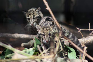 Clouded Leopard Girls.