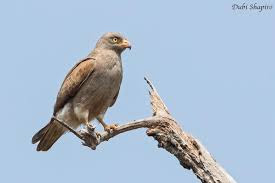 Rufous winged Buzzard