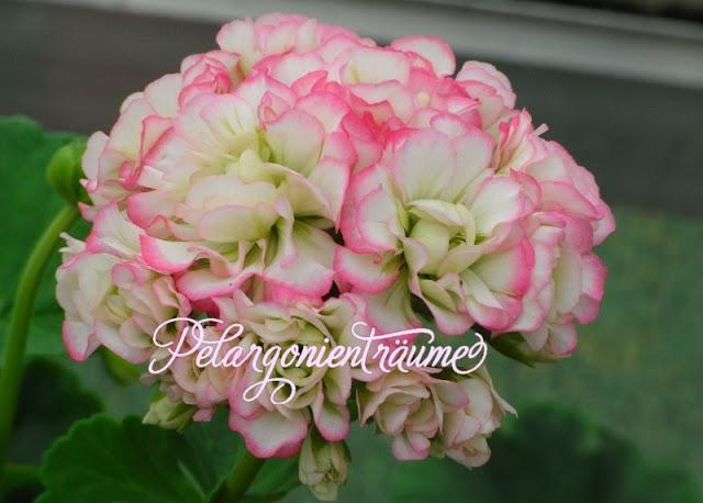 Rosenpelargonie-Pelargonientraeume