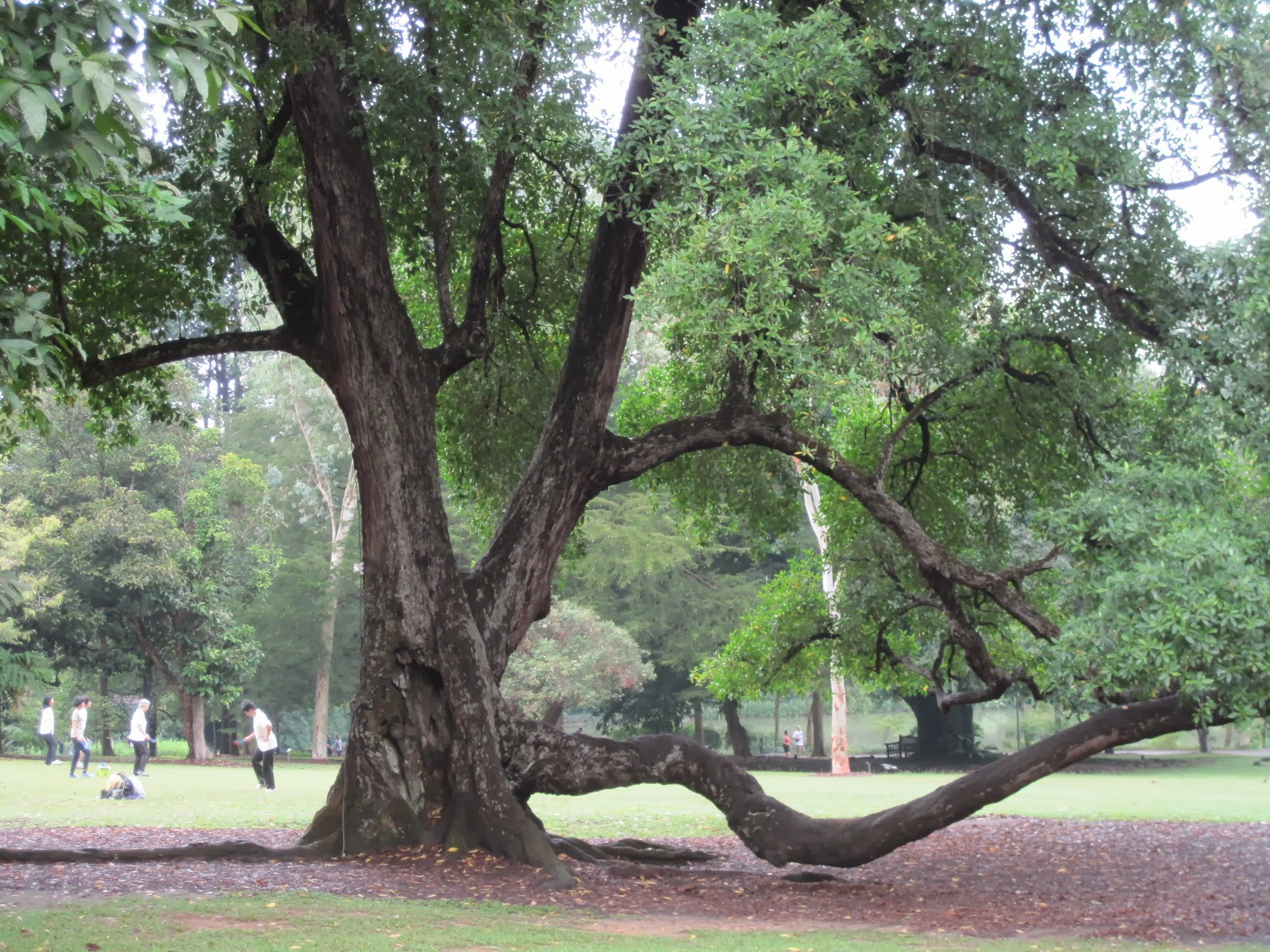 This Tembusu tree is located in Singapore Botanic Gardens, it is best known as The 5-dollars Note Tree.  It is believed that the tree was there well before the Gardens were laid out in1859.