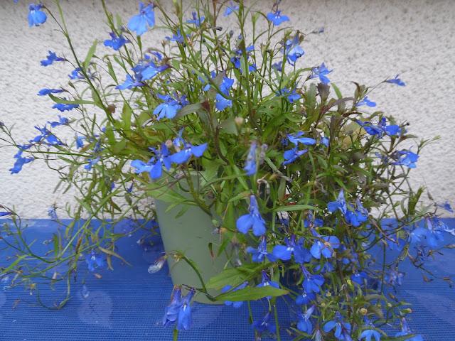 niebieskie kwiaty jednoroczne
