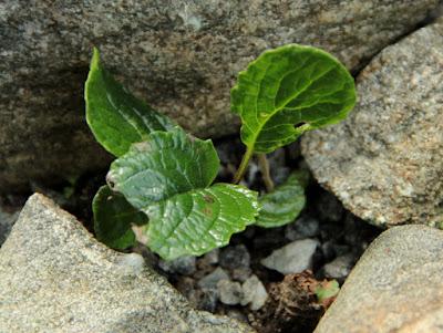Cremanthodium