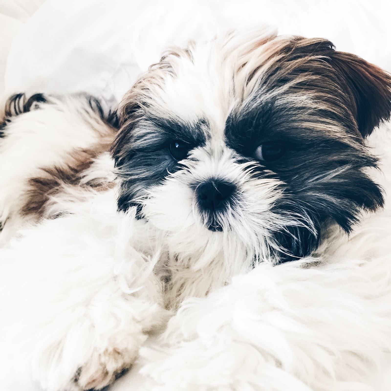 Life in Excess Blog - Daisy Shih Tzu Puppy