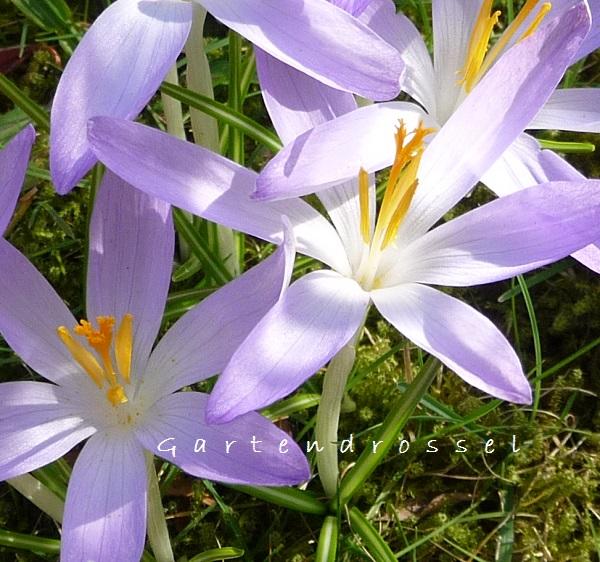 Krokusse lila