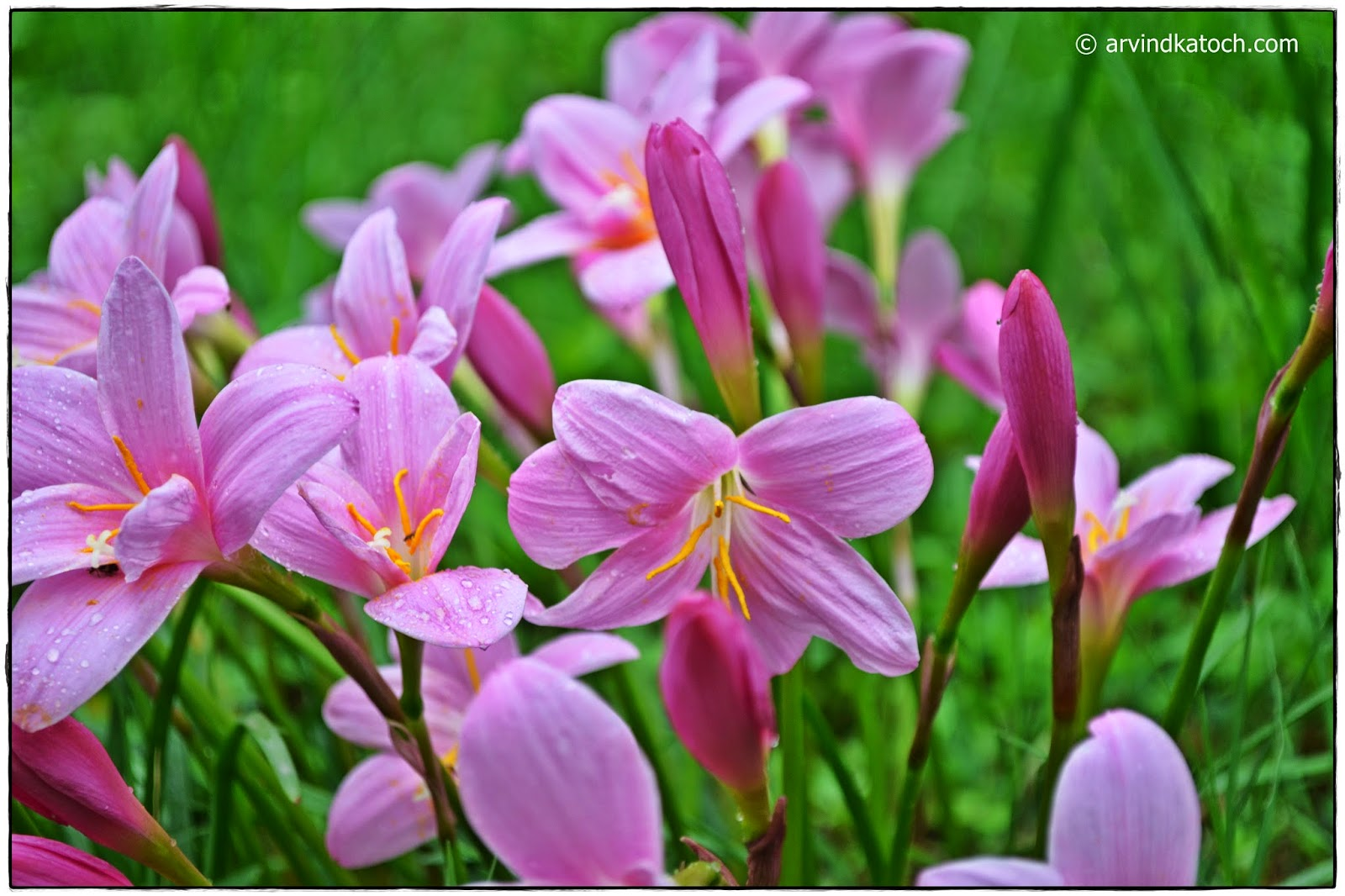 Grass Flowers, Flowers, Pink Flowers