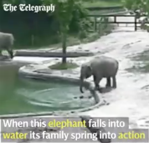The Randy Report Viral Video Adult Elephants Jump Into-6098