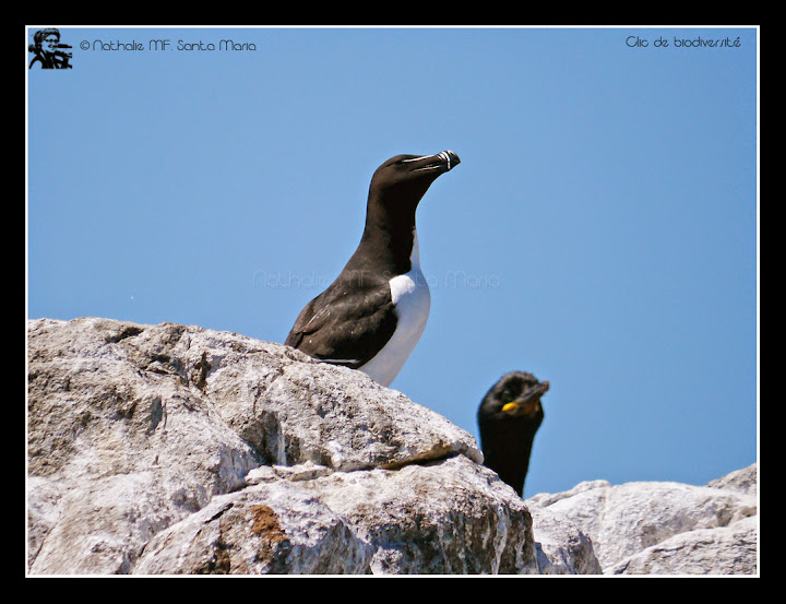 https://bioclicetphotos.blogspot.fr/search/label/Pingouin%20torda%20-%20Alca%20torda