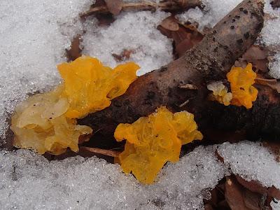 grzyby zimowe, grzybobranie w zimie, grzyby w lutym, trzęsak pomarańczowożółty Tremella mesenterica, uszak bzowy Auricularia auricula-judae,  płomiennica zimowa, zimówka Flammulina velutipes