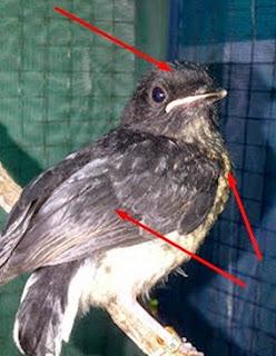 Burung Murey Batu Anakan Betina.