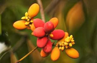 buah tangkil gymnospermae