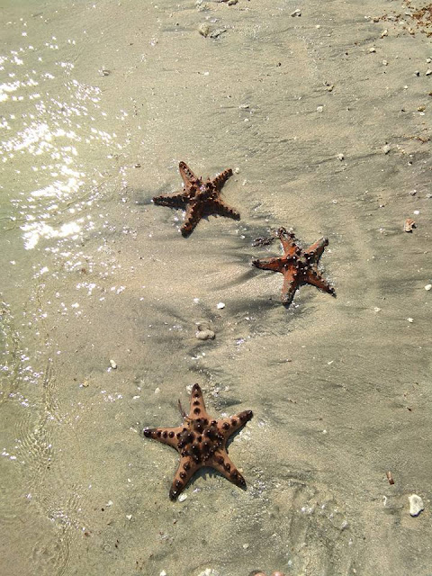 Longo beach star fish