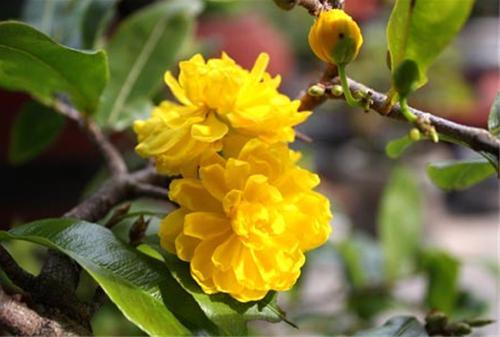 Các loại hoa mai- ST- Phố núi và bạn bè...